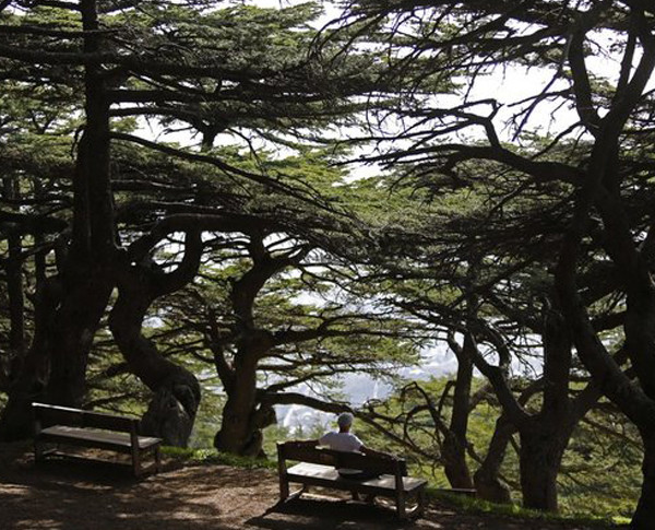 Alain Daou's strives to preserve the symbolic Lebanese Cedar tree